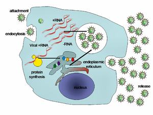 picture of virus replication
